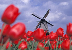 Windmill and tulips, Netherlands (Photo: Index Open)