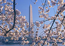The National Cherry Blossom Festival, Washington, D.C. (Photo: E.David of NCBF Luria)