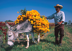 Donkey hauling flowers in Michoacan, Mexico (Photo: Bruce Herman/Mexico Tourism Board)