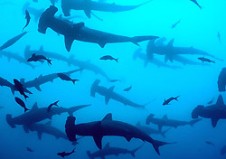 School of hammerhead sharks off Cocos Island, Costa Rica (Photo: Wayne Hasson, Aggressor Fleet)