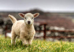 Animal: Baby Lamb (Photo: Shutterstock/Patryk Kosmider)