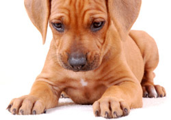 Animal: Rhodesian Puppy (Photo: Shutterstock/Anke van Wyk)