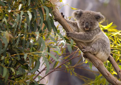 Australia-Koala in a Gum Tree (Photo: iStockPhoto/juuce)