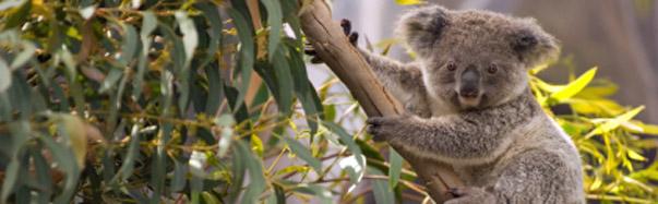Australia-Koala in a Gum Tree (Photo: iStockPhoto/juuce)