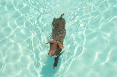 Bahamas - Swimming Pig near Staniel Cay