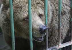 Bear in captivity. (Photo: Thinkstock/iStockphoto)