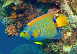 A queen angelfish in the waters off Bonaire (Photo: iStockphoto.com/John Anderson)