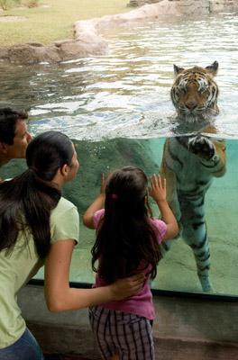 Bengal tiger in a plunge pool at Jungala at Busch Gardens Tampa Bay, Tampa Bay, Florida