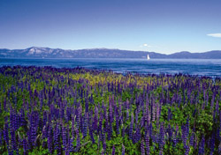 Lake Tahoe Flowers (Photo: North Lake Tahoe/Tom Zikas)