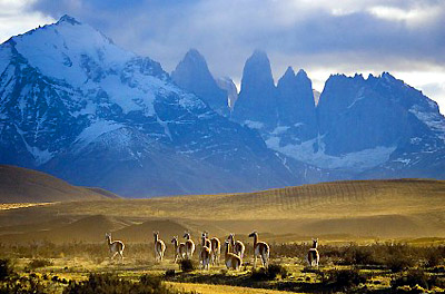 Herd of guanacos in Torres del Paine National Park, Chile