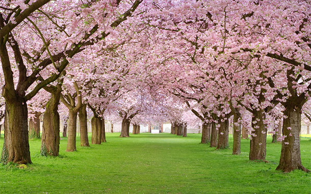 Cherry Blossoms in Bloom on Green Lawn (Photo: Shutterstock.com)