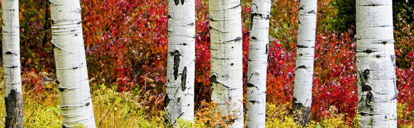 Colorado Aspen Trees (Photo Credit: Matt Inden/Weaver Multimedia Group, Colorado Tourism Office)