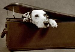 Dalmatian in a suitcase (Photo: iStockPhoto/Ira Bachinskaya)