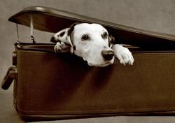 Dalmatian in a suitcase (Photo: iStockPhoto/Ira Bachinskaya)