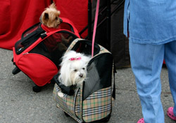 Dogs in carry-on bags (Photo: iStockPhoto/tiburonstudios)