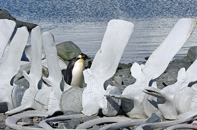 Penguin in whale bones