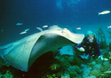 Scuba diving with stingrays (Photo: Fort Lauderdale CVB)