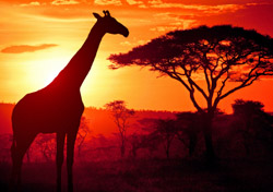 African Giraffe at Sunset (Photo: iStockphoto/ranplett)