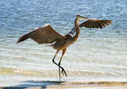 Great blue heron landing on the beach (Photo: Lisa Young/iStockPhoto)