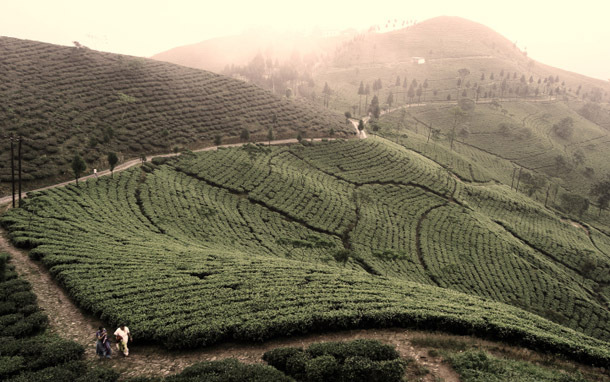 India: Darjeeling, Tea Plantation (Photo: Thinkstock/iStockphoto)