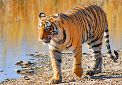 Bengal tiger, India (Photo: Wild Planet Adventures)