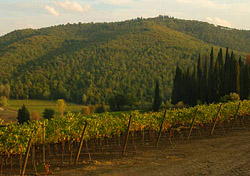 Vineyard in Tuscany (Photo: Index Open)