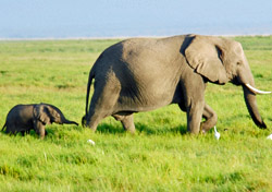 Kenya - Elephant mother and calf spotted on safari (Photo: iStockPhoto/Dan Kite)