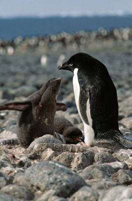 Antarctic - Adult and baby penguin