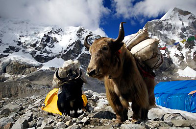 Yaks at Everest Base Camp, Nepal
