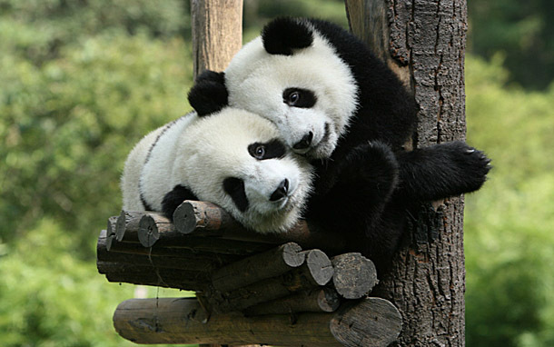 Pandas (Photo: Thinkstock/Hemera)
