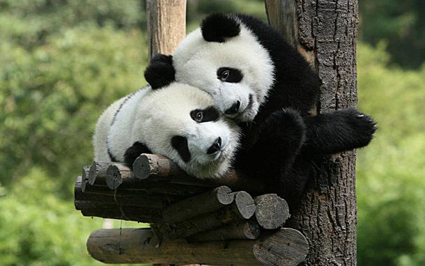 Pandas (Photo: Thinkstock/Hemera)