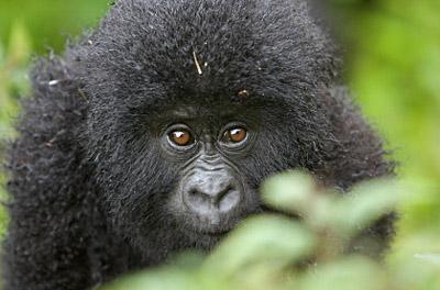 Rwanda - Gorilla Baby