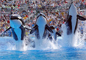 Seaworld Shamu Show (Photo: San Diego CVB/SeaWorld)