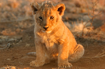 wallpapers of baby african lion habitat