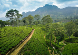 Sri Lanka: Tea Plantation (Photo: iStockphoto/Erkki Tamsalu)