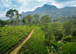Sri Lanka: Tea Plantation (Photo: iStockphoto/Erkki Tamsalu)