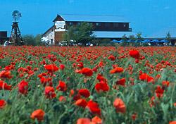 Wildseed Farms in Fredericksburg, Texas (Photo: Al Rendon)