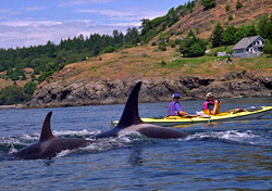 Kayaking with orcas (Photo: Adventure Associates)