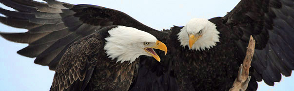 Bald eagles (Photo: Bruce Leonard/iStockphoto.com)