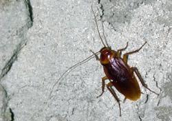 Cockroach (Photo: Evgeni Parushin/iStockphoto)