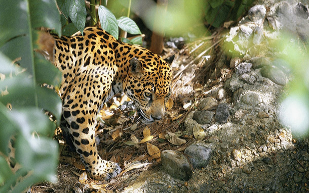 Wildlife: Jaguar (Photo: Thinkstock/Medioimages/Photodisc)