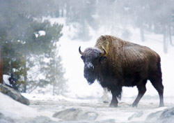 Buffalo in Yellowstone National Park (Photo: David Mathies, iStockphoto)